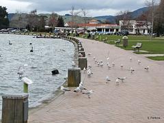 Seagulls, Lake Rotorua