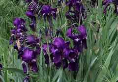 Iris ancien
