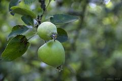 Kleine Äpfelchen