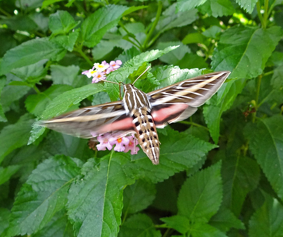 White Lined Sphinx Moth (Hyles lineata)