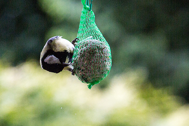 20140515 3110VRAw [D~LIP] Kohlmeise (Parus major), Bad Salzuflen