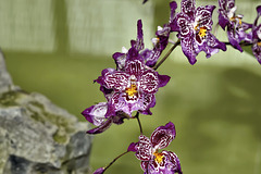 "Vuylstekeara Yokara ""Perfection"" – Botanical Garden, Montréal, Québec – Botanical Garden, Montréal, Québec"