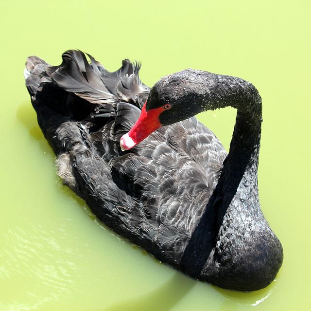 Cygne noir (d'Australie)