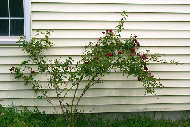 The Rose Bush by the Garage