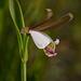 Cleistesiopsis oricamporum (Small Rosebud orchid)