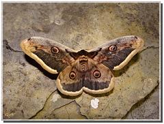 Le plus grand papillon français !
