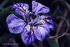 Wild Iris Explore 104 copy2