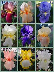 Iris Flower Collage