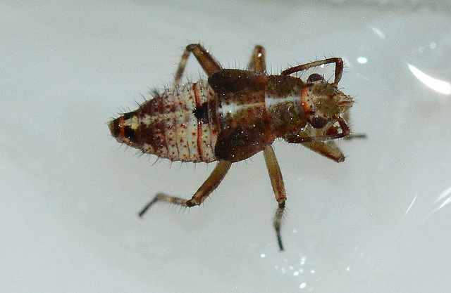 Deraeocorus Nymph