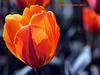 Parrot Tulips Explore 010