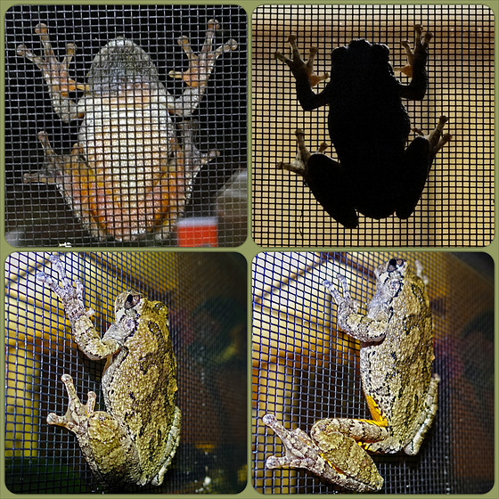 Frog on the bug screen Collage