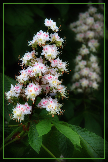 Conker Blooms