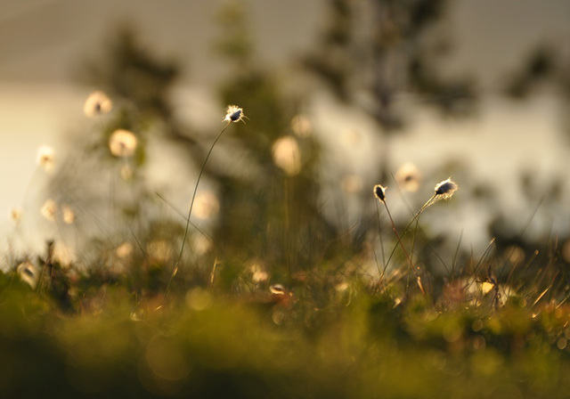 Eriophorum vaginatum - Hare's-tail cottongrass - Torvull - Scheiden-Wollgras