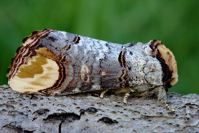 Buff Tip Moth (Phalera bucephala)