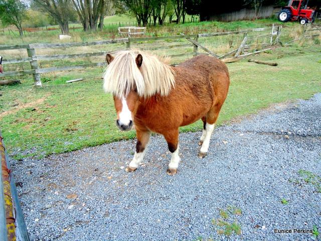 Miniature Horse.