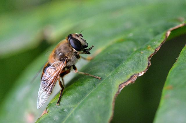 Praying Bee