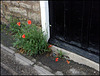 poppies on a doorstep