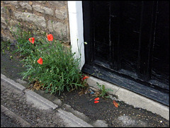 poppies on a doorstep