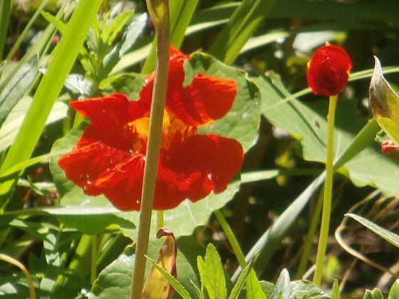 Beautiful vivid orange of the nasturtium
