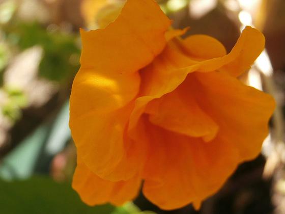 The yellow nasturtium unfolding