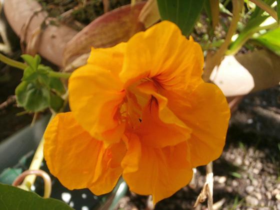 The new yellow nasturtium