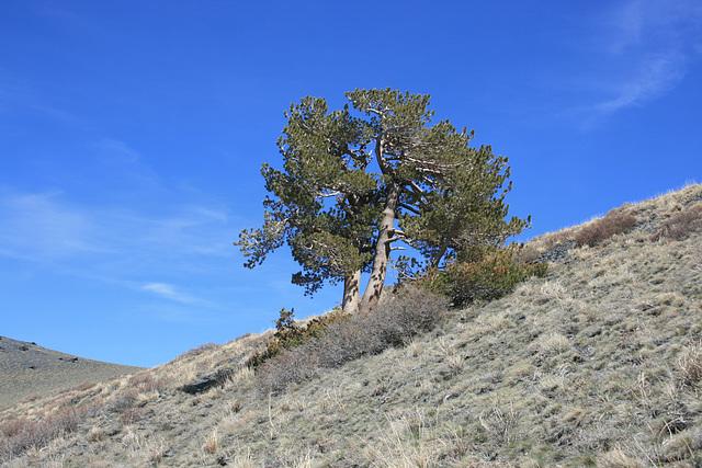 Lone Tree(s)