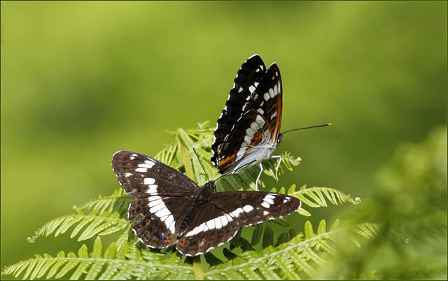 fil(et) à papillons - Page 12 33326637.c290891c.640