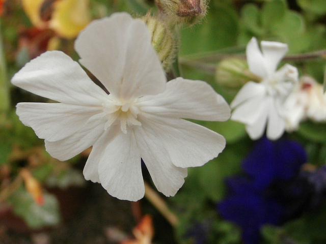 A white wild flower