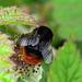 Redtailed Bumblebee - Bombus lapidarius ?