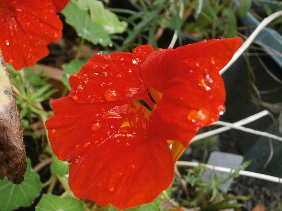 The nasturtium looks great with raindrops on it