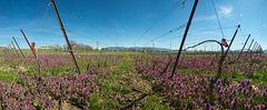 Fleurs dans les vignes (8 im. ~100°)
