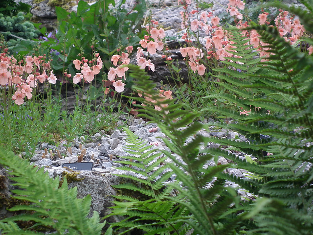 Ferns and Mimulus on the Rockery