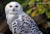 Snowy Owl Explore 147 copy