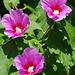 Hibiscus - Montoison - Drôme