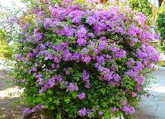 Massif de fleurs mauves