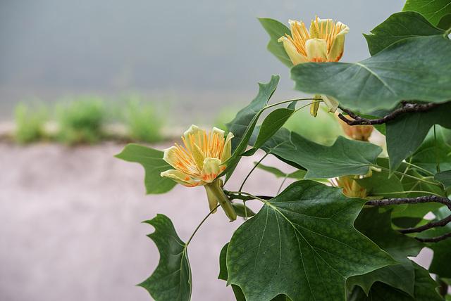 BESANCON: Un Tulipier de Virginie ( Liriodendron tulipifera ) - 03.