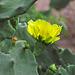 Opuntia Flower