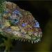 Buntleguan / Polychrus marmoratus / Common Monkey Lizard