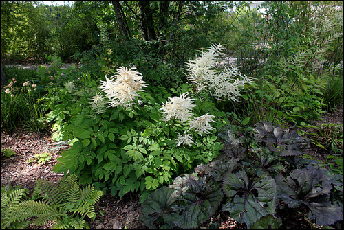 Jardin chinois- Aruncus  dioïcus- Barbe de Bouc