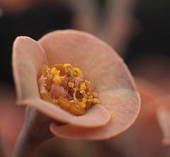 Euphorbia capsaintemariensis - Blüte