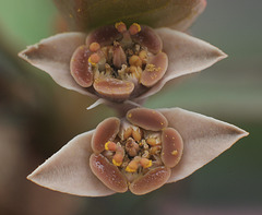 Euphorbia moratii - Blüte