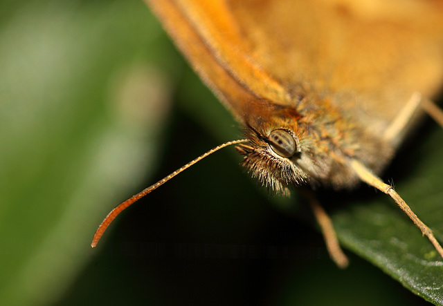 Gatekeeper (Pyronia tithonus) butterfly