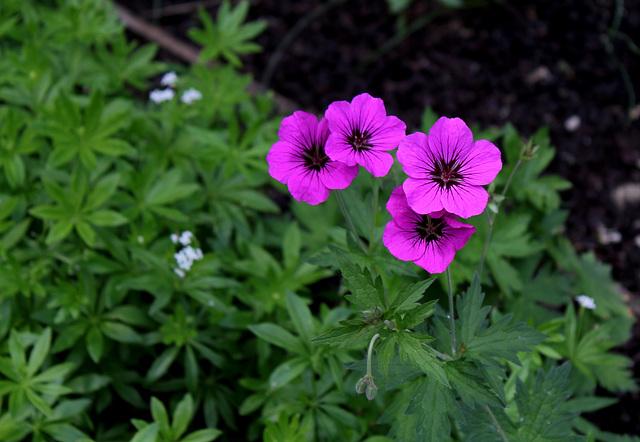 Le jardin des pécheresses- Geranium psilostemon
