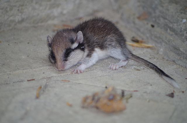 jeune rat fruitier ou peut-être un jeune lérot ?