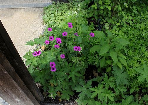 Geranium psilostemon g ranium d 39 arm nie - Beau jardin rose and geranium ...
