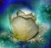 une rose qui aimerait devenir pure