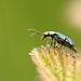 Common Malichite Beetle