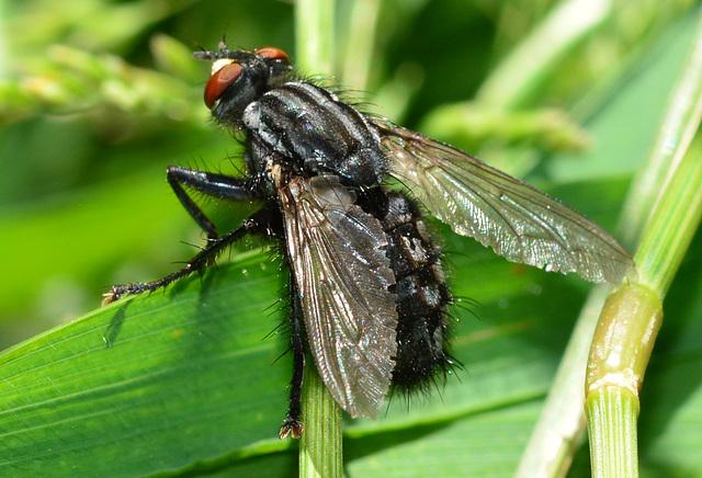Flesh-Fly, Sarcophaga carnaria
