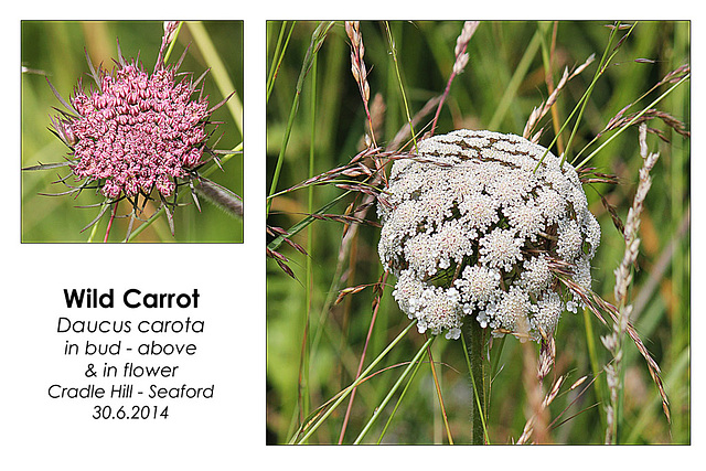 Wild Carrot - Seaford - 30.6.2014