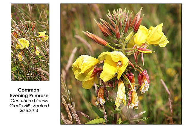 Common Evening Primrose - Seaford - 30.6.2014
